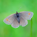 Yellow-spotted Ringlet or Gelbgefleckter Mohrenfalter