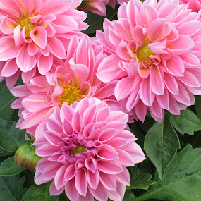 Pink Dahlias by Viive Selg - Nature Up Close Flowers - 2011-2013 ( , the mood factory, mood, lighting, sassy, pink, colored, colorful, scenic, artificial, lights, scents, senses, hot pink, confident, fun, mood factory , mood factory, vibrant, happiness, January, moods, emotions, inspiration, breast cancer awareness, color, mood-lites, brighten our world )