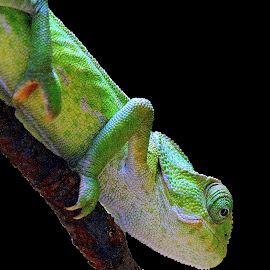 Chameleon by Ralph Harvey - Animals Reptiles ( wildlife, ralph harvey, bristol zoo, chameleon, animal )