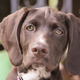 Puppy Dog Eyes by Shannon MacLeod - Animals - Dogs Portraits ( puppies, dogs, german shorthaired pointer, puppy, man's best friend, dog, gsp, eyes )