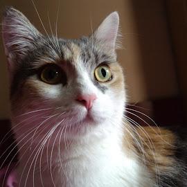 Portrait by Kmetica Vesela - Animals - Cats Portraits ( cat, pet, beautiful, cute, portrait, photography )