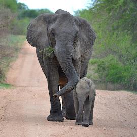 JOURNEY by Megan Botha - Animals Other Mammals ( national park, elephant, wildlife, baby animals, kruger )