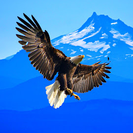 Blue eagle by Gaylord Mink - Animals Birds ( bird, eable, landing, blue, bald eagle,  )