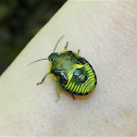 Green Stinkbug (Nymph)