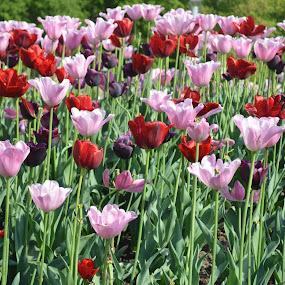 tulip garden by Santosh Vanahalli - Flowers Flower Gardens ( tulip garden )