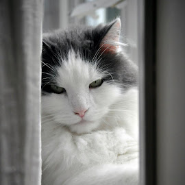 The Fluff in his favorite spot. by Christopher Darlington - Animals - Cats Portraits ( cat )