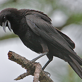 Crow by Jim Powell - Animals Birds ( everglades )