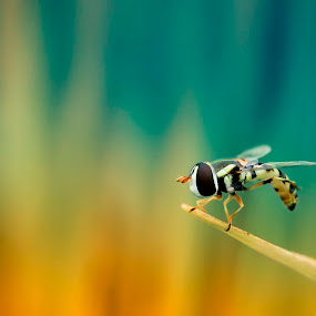 hover by Firmansyah Goma - Animals Insects & Spiders ( hoverfly )