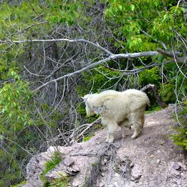 Mountain Goat, Montana by Greg Koehlmoos - Animals Other Mammals ( mountain goat nursing, mountain goats, mountain goat, mountain goat sighting, western montana,  )