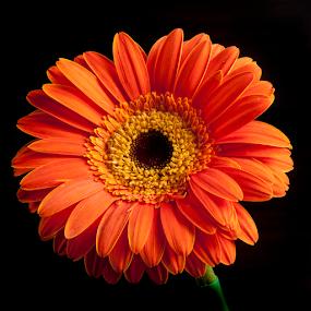 Gerber in orange tone by Cristobal Garciaferro Rubio - Flowers Single Flower ( orange color, petals, flower, gerber, petal )
