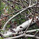 grey squirrel ( fall )