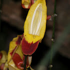 Indian Clock Vine