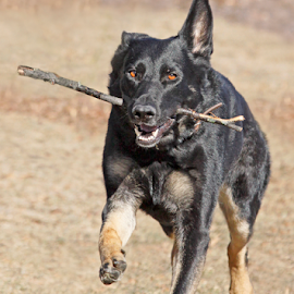 Overjoyed by Mia Ikonen - Animals - Dogs Running ( playing, guide dog, female, finland, german shepherd,  )