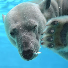 by Jim Soreng - Novices Only Wildlife ( swiming, chicago, polarbears, lincolnparkzoo )