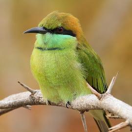 Green Bee-eater by Sankaran Balaji - Animals Birds