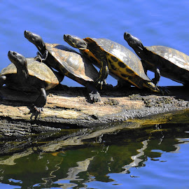 Spring Day by Stephen Chandler - Animals Reptiles ( water, nature, fauna, lines, turtles, spring )