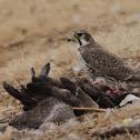 Prairie Falcon eating a Canada Goose
