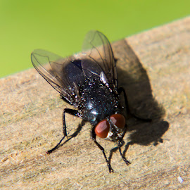 Fly basking in the Sun by John Cope - Animals Insects & Spiders ( fly )