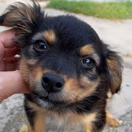 by Olja S - Animals - Dogs Puppies (  )