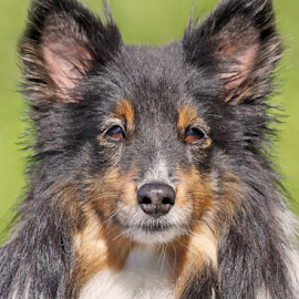 Lenient by Mia Ikonen - Animals - Dogs Portraits ( gentle, shetland sheepdog, finland, cute, sheltie )