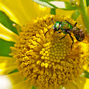 Female green metallic sweat bee