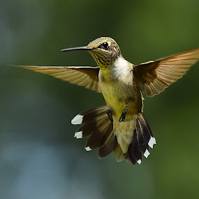Spreadum' by Roy Walter - Animals Birds ( animals, nature, wilgs, hummingbird, wildlife, birds )