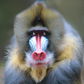 Mandrill Face to Face by John Larson - Animals Other Mammals