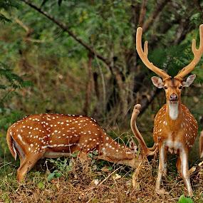 I'll Be Alert by Abhinav Ganorkar - Animals Other Mammals ( wild, jungle, safari, wildlife, deer,  )