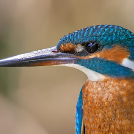 kingfisher close up by Stefano Pretti - Animals Birds ( nature, kingfisher )