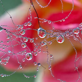 dews by Carl Sieswono Purwanto - Nature Up Close Water