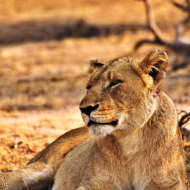 Contents Lioness! by Belinda Bailey - Animals Lions, Tigers & Big Cats ( #africa, #bigcat, #lioness, #lion, #pride )