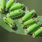 Lymacodid caterpillar
