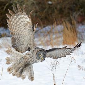 Great gray owl by Dominic Roy - Animals Birds ( bird, flight, nature, wings, owl )