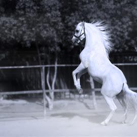 Horse Dancing by Kamal Mp - Animals Horses ( desert, horse, white, blck and white, dance )