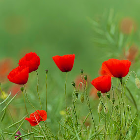 Poppies in the wind by Annette Flottwell - Flowers Flowers in the Wild ( field, rouge, red, coquelicot, meadow, poppies,  )