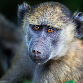 Baboon by Susan Koppel - Animals Other Mammals ( baboon, tanzania, africa )