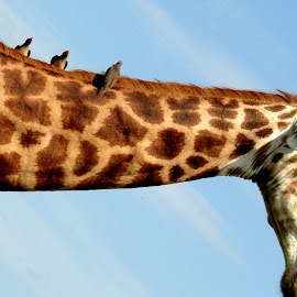 Giraffe Ride by Rudi Botha - Animals Other Mammals ( nature, park, giraffe, wildlife, tallest,  )