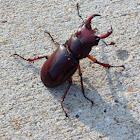 Reddish-brown Stag Beetle, male