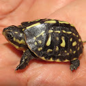 Florida Box Turtle (hatchling)