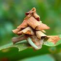 Leaf Case Moth