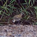 Pacific Golden Plover/ Kolea (Juvenile)