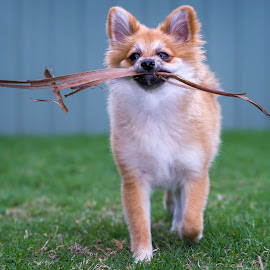 I've got a stick by Gary Want - Animals - Dogs Puppies ( queensland, yamanto, australia, puppy, willow, dog, pomeranian )