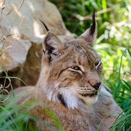 bob cat by Cameron Knudsen - Animals Lions, Tigers & Big Cats