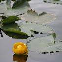 Rocky Mountain Pond-lily