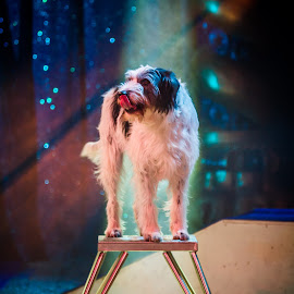 The dog show ! by Arti Fakts - Animals - Dogs Playing ( playing, waiting, show, dog, artifakts, stage, spotlight, circus )