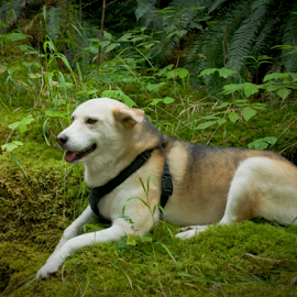 My little husky by Janet Gilmour-Baker - Animals - Dogs Portraits ( nature, vancouver island, husky, forest, beauty, dog, natural, portrait, hike )