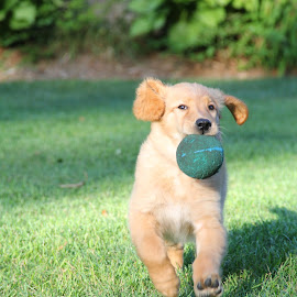 by Todd Yonkers - Animals - Dogs Puppies ( puppy, cute, playing ball, dog, golden retriever )