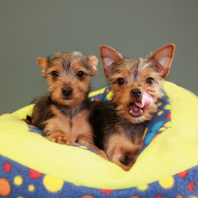 Two Yorkie puppies by Sharon Scholtes - Animals - Dogs Puppies ( canine, puppies, blue, yellow, yorkies, dog )