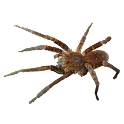 Spider Tarantula Sticker