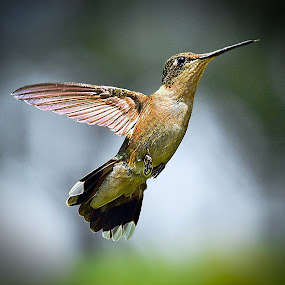 Reach by Roy Walter - Animals Birds ( animals, nature, hummingbird, wildlife, birds )